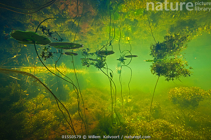 Water filled ditch with shadow of a tree on water with Fringed waterlily (Nymphoides peltata) Star duckweed (Lemna trisulca) Netherlands. July 2015. Commended in the Underwater World Category of the GDT Awards competition 2016.  ,  Plant,Vascular plant,Flowering plant,Asterid,Bog bean,Floatingheart,Fringed water lily,Monocot,Arum,Duckweed,Plantae,Plant,Tracheophyta,Vascular plant,Magnoliopsida,Flowering plant,Angiosperm,Seed plant,Spermatophyte,Spermatophytina,Angiospermae,Asterales,Asterid,Dicot,Dicotyledon,Asteranae,Menyanthaceae,Bog bean,Nymphoides,Floatingheart,Nymphoides peltata,Fringed water lily,Yellow floating heart water fringe,Limnanthemum peltatum,Nymphoides nymphaeoides,Alismatales,Monocot,Monocotyledon,Lilianae,Araceae,Arum,Aroid,Lemna,Duckweed,Colour ,Green,Europe,Western Europe,The Netherlands,Holland,Netherlands,Freshwater,Underwater,Water,Temperate,Competition winner,Aquatic Plant,Photography award,Plants,Angiosperms,Spermatophytes,Asterids,Dicots,Dicotyledons,Bog beans,Floatinghearts,Monocots,Monocotyledons,Arums,Aroids,Duckweeds,Award winners,Aquatic plants,Colours,Colors,Plant,Vascular plant,Flowering plant,Asterid,Bog bean,Floatingheart,Fringed water lily,Monocot,Arum,Duckweed, catalogue9  ,  Willem  Kolvoort