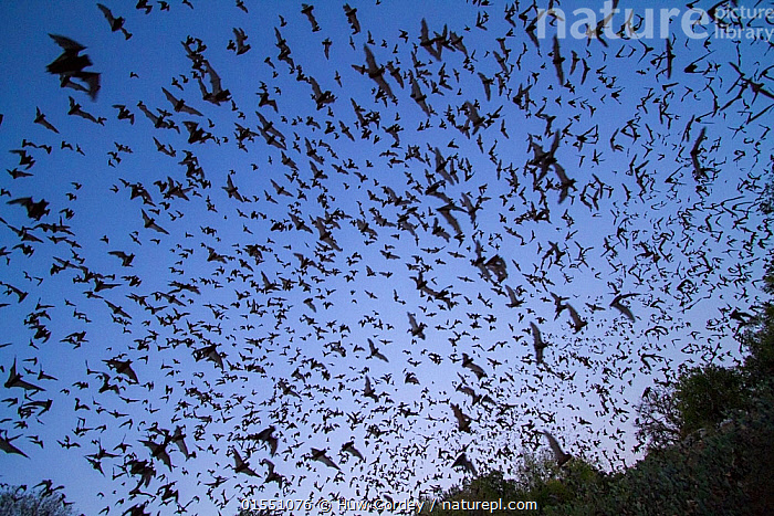 Mexican free tailed bats, (Tadarida brasiliensis), leaving Bracken Cave, Texas. Bracken Cave is the summertime home of over 15 milions bats, making it the largest colony of bats in the world and one of the greatest concentrations of mammals on the planet. August 2011  ,  Animal,Vertebrate,Mammal,Bat,Free tailed bats,Brazilian free-tailed bat,American,Animalia,Animal,Wildlife,Vertebrate,Mammalia,Mammal,Chiroptera,Bat,Molossidae,Free tailed bats,Microchiroptera,Microbat,Tadarida,Tadarida brasiliensis,Brazilian free-tailed bat,Flying,Emergence,Coming Out,Emergance,Emerge,Emerges,Emerging,Group,Large Group,North America,USA,Southern USA,Texas,American,United States of America,  ,  Huw Cordey