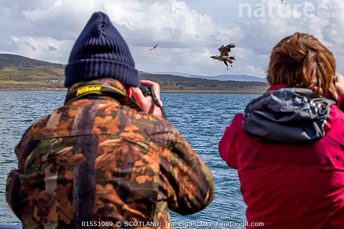 Man and woman rear view, photographing White-tailed sea eagle (Haliaeetus albicilla) taking fish, Isle of Mull, Argyll and Bute, Scotland, UK, May.  ,  Animal,Vertebrate,Bird,Birds,Sea eagle,White tailed sea eagle,Animalia,Animal,Wildlife,Vertebrate,Aves,Bird,Birds,Accipitriformes,Accipitridae,Haliaeetus,Sea eagle,Eagle,Bird of prey,Raptor,Haliaeetus albicilla,White tailed sea eagle,White tailed eagle,Flying,Leisure,People,Woman,Man,Europe,Western Europe,UK,Great Britain,Scotland,Photography,Equipment,Photographic Equipment,Camera,Technology,Hebrides,Inner Hebrides,Mull,Scottish islands,Scottish isles,Isle of Mull,Argyll and Bute,SCOTLAND: The Big Picture,Phillip Price,  ,  SCOTLAND: The Big Picture
