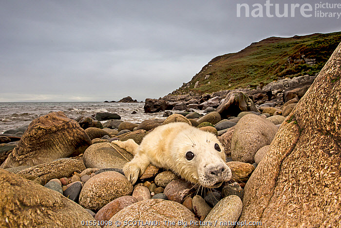 Grey seal (Halichoerus grypus) pup hauled out on rocky beach, west coast of Scotland, September., Animal,Wildlife,Vertebrate,Mammal,Carnivore,True seal,Gray Seal,Animalia,Animal,Wildlife,Vertebrate,Mammalia,Mammal,Carnivora,Carnivore,Phocidae,True seal,Pinnipeds,pinnipedia,Halichoerus,Halichoerus grypus,Gray Seal,Grey Seal,Resting,Rest,Europe,Western Europe,UK,Great Britain,Scotland,Young Animal,Baby,Baby Mammal,Pup,Pups,Beach,Coast,Coastal,Habitat,Direct Gaze,Hauled out,SCOTLAND: The Big Picture,Phillip Price,Animals,Vertebrates,Chordates,Mammals,Carnivores,True seals,Pinnipeds,Juveniles,Young Animals,Baby Animals,Coasts,Babies,Animal,Wildlife,Vertebrate,Mammal,Carnivore,True seal,Gray Seal, catalogue9, SCOTLAND: The Big Picture