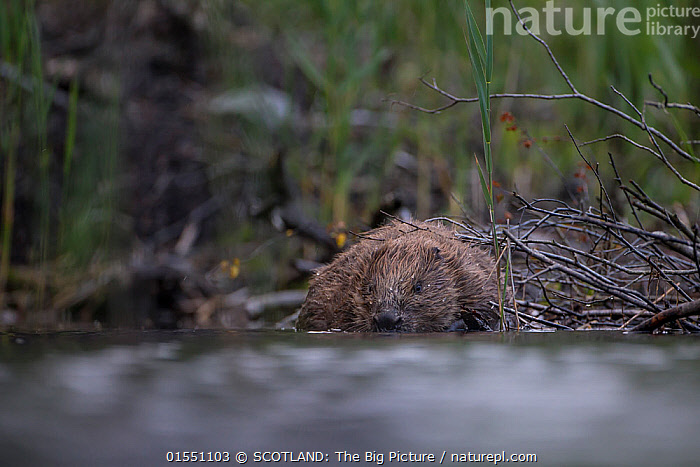 European beaver (Castor fiber) foraging on its lodge, Knapdale, Argyll and Bute, Scotland, UK, July.  ,  Animal,Vertebrate,Mammal,Rodent,Beaver,Eurasian beaver,Homes,Animalia,Animal,Wildlife,Vertebrate,Mammalia,Mammal,Rodentia,Rodent,Castoridae,Castor,Beaver,Castor fiber,Eurasian beaver,Foraging,Europe,Western Europe,UK,Great Britain,Scotland,Low Angle View,Freshwater,Lake,Water,Habitat,Conservation,Homes,Wildlife conservation,Reintroduction,Reintroduced,Argyll and Bute,Beaver lodge,SCOTLAND: The Big Picture,Big Picture,Phillip Price,  ,  SCOTLAND: The Big Picture
