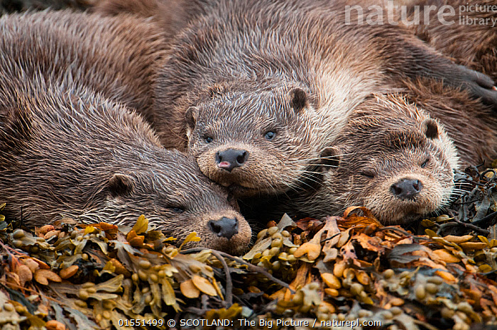 A family of otters rest on the intertidal seaweed. European river otter (Lutra lutra) Shetland, Scotland, UK, July., Animal,Wildlife,Vertebrate,Mammal,Carnivore,Mustelid,River otter,Common Otter,Animalia,Animal,Wildlife,Vertebrate,Mammalia,Mammal,Carnivora,Carnivore,Mustelidae,Mustelid,Lutra,River otter,Lutra lutra,Common Otter,Eurasian Otter,European Otter,European River Otter,Old World Otter,Resting,Rest,Taking A Break,Sleeping,Napping,Nap,Naps,Relaxation,Few,Three,Group,Europe,Western Europe,UK,Great Britain,Scotland,Shetland,Ocean,Atlantic Ocean,Marine,Water,Saltwater,Mother,Littoral,Seaweed,SCOTLAND: The Big Picture,Richard Shucksmith,Animals,Vertebrates,Chordates,Mammals,Carnivores,Mustelids,River otters,Groups,Oceans,Shetlands,Animal,Wildlife,Vertebrate,Mammal,Carnivore,Mustelid,River otter,Common Otter,high16, SCOTLAND: The Big Picture