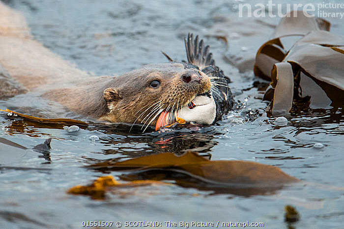 European river otter (Lutra lutra) coming ashore with Atlantic puffin (Fratercula arctica), Shetland, Scotland, UK, June. Small repro only. Winner of Animal Behaviour category of the BWPA Competition 2014.  ,  Animal,Vertebrate,Mammal,Carnivore,Mustelid,River otter,Common Otter,Animalia,Animal,Wildlife,Vertebrate,Mammalia,Mammal,Carnivora,Carnivore,Mustelidae,Mustelid,Lutra,River otter,Lutra lutra,Common Otter,Eurasian Otter,European Otter,European River Otter,Old World Otter,Swimming,Europe,Western Europe,UK,Great Britain,Scotland,Shetland,Ocean,Atlantic Ocean,Marine,Water,Temperate,Saltwater,Littoral,SCOTLAND: The Big Picture,Richard Shucksmith,  ,  SCOTLAND: The Big Picture