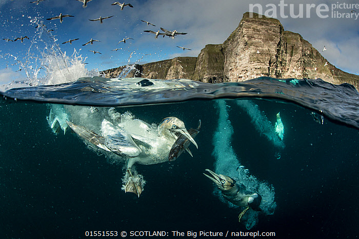 Gannets (Morus bassanus) diving to feed on discarded fish, Shetland, Scotland, UK, April., Animal,Wildlife,Vertebrate,Bird,Birds,Phalacrocoraciformes,Sulid,Gannet,Northern gannet,Animalia,Animal,Wildlife,Vertebrate,Aves,Bird,Birds,Suliformes,Phalacrocoraciformes,Sulidae,Sulid,Morus,Gannet,Morus bassanus,Northern gannet,North Atlantic gannet,Atlantic gannet,Sula bassana,Diving,Flying,Splashing,Swimming,Europe,Western Europe,UK,Great Britain,Scotland,Shetland,Ocean,Atlantic Ocean,Nature,Marine,Coastal waters,Split level,Water,Animal Behaviour,Feeding,Temperate,Saltwater,Sea,North Sea,Dramatic,SCOTLAND: The Big Picture,Richard Shucksmith,Animals,Vertebrates,Chordates,Sulids,Gannets,Oceans,Seas,Shetlands,Animal,Wildlife,Vertebrate,Bird,Birds,Phalacrocoraciformes,Sulid,Gannet,Northern gannet,catalogue9, SCOTLAND: The Big Picture