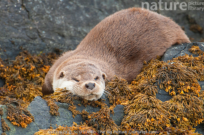 European river otter (Lutra lutra) male resting on the shore, Shetland, Scotland, UK, February. Small repro only.  ,  Animal,Vertebrate,Mammal,Carnivore,Mustelid,River otter,Common Otter,Animalia,Animal,Wildlife,Vertebrate,Mammalia,Mammal,Carnivora,Carnivore,Mustelidae,Mustelid,Lutra,River otter,Lutra lutra,Common Otter,Eurasian Otter,European Otter,European River Otter,Old World Otter,Resting,Rest,Sleeping,Tiredness,Europe,Western Europe,UK,Great Britain,Scotland,Shetland,Front View,Male Animal,Plant,Animal Behaviour,Behaviour,Littoral,Seaweed,SCOTLAND: The Big Picture,Big Picture,Richard Shucksmith,  ,  SCOTLAND: The Big Picture