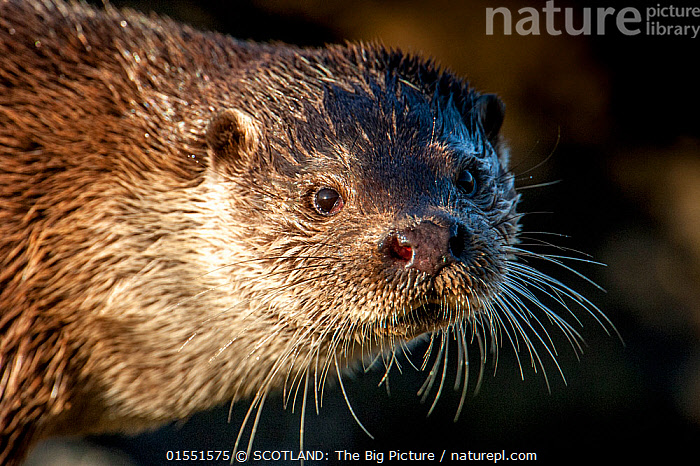 European river otter (Lutra lutra)  close up portrait, Shetland, Scotland, UK, February., Animal,Wildlife,Vertebrate,Mammal,Carnivore,Mustelid,River otter,Common Otter,Animalia,Animal,Wildlife,Vertebrate,Mammalia,Mammal,Carnivora,Carnivore,Mustelidae,Mustelid,Lutra,River otter,Lutra lutra,Common Otter,Eurasian Otter,European Otter,European River Otter,Old World Otter,Europe,Western Europe,UK,Great Britain,Scotland,Shetland,Close Up,Front View,Portrait,Whiskers,Direct Gaze,SCOTLAND: The Big Picture,Richard Shucksmith,Animals,Vertebrates,Chordates,Mammals,Carnivores,Mustelids,River otters,Closeups,Portraits,Close-ups,Whisker,Close ups,Shetlands,Animal,Wildlife,Vertebrate,Mammal,Carnivore,Mustelid,River otter,Common Otter,high16, SCOTLAND: The Big Picture
