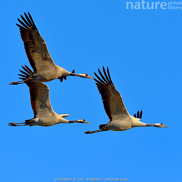 Common crane (Grus grus) group of three in flight, Lake Hornborga, Sweden , April  ,  Animal,Wildlife,Vertebrate,Bird,Birds,Crane,Common crane,Animalia,Animal,Wildlife,Vertebrate,Aves,Bird,Birds,Gruiformes,Gruidae,Crane,Grus,Grus grus,Common crane,Eurasian crane,Flying,Few,Three,Group,Europe,Northern Europe,North Europe,Nordic Countries,Scandinavia,Sweden,Coloured Background,Blue Background,Copy Space,Cutout,Sky,Negative space,Blue sky,Lake Hornborga,Animals,Vertebrates,Chordates,Cranes,Groups,Copy Spaces,Skies,Blue skies,Animal,Wildlife,Vertebrate,Bird,Birds,Crane,Common crane,high16  ,  Loic  Poidevin