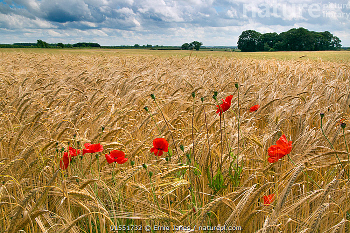 RF- Barley (Hordeum vulgare) field with Poppies (Papaver rhoeas) North Norfolk, UK, June. (This image may be licensed either as rights managed or royalty free.), Plant,Vascular plant,Flowering plant,Dicot,Poppy,Common poppy,Monocot,Grass,Barley,Plantae,Plant,Tracheophyta,Vascular plant,Magnoliopsida,Flowering plant,Angiosperm,Seed plant,Spermatophyte,Spermatophytina,Angiospermae,Ranunculales,Dicot,Dicotyledon,Ranunculanae,Papaveraceae,Fumariaceae,Papaver,Poppy,Stylomecon,Papaver rhoeas,Common poppy,Corn poppy,Field poppy,Red poppy,Poales,Monocot,Monocotyledon,Lilianae,Poaceae,Grass,True grass,Gramineae,Hordeum,Barley,Hordeum vulgare,Cereal barley,Common barley,Two rowed barley,Blow,Surprise,Colour,Red,Nobody,Flat,Windswept,Wind Blown,Wind-Blown,Windblown,Europe,Western Europe,UK,Great Britain,England,Norfolk,Crops,Produce,Cultivated,Wildflower,Wildflowers,Flower,Cultivated Land,Landscape,Outdoors,Summer,Day,Nature,Countryside,Farmland,Unexpected,RF,Royalty free,RFCAT1,RF17Q1,, Ernie  Janes