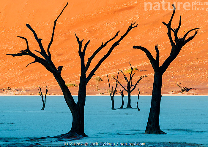 Dead Vlei, with dessicated 900 year old trees standing in the salt pan surrounded by towering red sand dunes. Namib-Naukluft National Park, Namibia. June 2013.  ,  Mood,Desolation,Desolate,Ancient,Dead,Dry,Arid,Africa,Southern Africa,Namibia,South-West Africa,Plant,Tree,Sand Dune,Reserve,Death,Protected area,UNESCO World Heritage Site,National Park,Namibian,Naukluft National Park,Namib-Naukluft National Park,Moods,Trees,Dunes,Reserves,National parks,high16  ,  Jack Dykinga