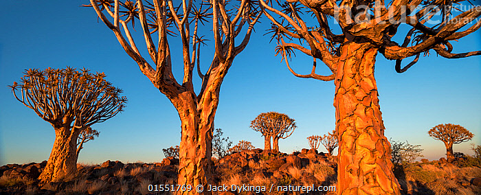Quiver trees (Aloe dichotoma) at sunrise, Namib Desert, Namibia.  ,  Plant,Vascular plant,Flowering plant,Monocot,Quiver tree,Plantae,Plant,Tracheophyta,Vascular plant,Magnoliopsida,Flowering plant,Angiosperm,Seed plant,Spermatophyte,Spermatophytina,Angiospermae,Asparagales,Monocot,Monocotyledon,Lilianae,Xanthorrhoeaceae,Aloe,Aloe dichotoma,Quiver tree,Kokerboom,Rhipidodendrum dichotomum,Dry,Arid,Africa,Southern Africa,Namibia,South-West Africa,Tree,Sunrise,Reserve,Protected area,UNESCO World Heritage Site,UNESCO,Heritage Site,World Heritage site,National Park,Dawn,Namibian,  ,  Jack Dykinga