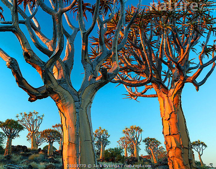 Quiver trees (Aloe dichotoma) at sunset, Namib Desert, Namibia.  ,  Plant,Vascular plant,Flowering plant,Monocot,Quiver tree,Plantae,Plant,Tracheophyta,Vascular plant,Magnoliopsida,Flowering plant,Angiosperm,Seed plant,Spermatophyte,Spermatophytina,Angiospermae,Asparagales,Monocot,Monocotyledon,Lilianae,Xanthorrhoeaceae,Aloe,Aloe dichotoma,Quiver tree,Kokerboom,Rhipidodendrum dichotomum,Dry,Arid,Africa,Southern Africa,Namibia,South-West Africa,Tree,Desert,Namib Desert,Sunset,Setting Sun,Sunsets,UNESCO World Heritage Site,Dusk,Namibian,Plants,Angiosperms,Spermatophytes,Monocots,Monocotyledons,Aloes,Trees,Plant,Vascular plant,Flowering plant,Monocot,Quiver tree,high16  ,  Jack Dykinga