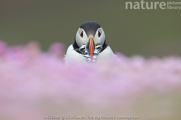 Atlantic puffin (fratercula arctica) with Sand eels, amongst thrift, Fair Isle, Shetland, Scotland, UK, July.  ,  Animal,Vertebrate,Ray-finned fish,Percomorphi,Sand lance,Sand eels,Sand eel,Bird,Birds,Auk,Puffin,Atlantic puffin,Animalia,Animal,Wildlife,Vertebrate,Actinopterygii,Ray-finned fish,Osteichthyes,Bony fish,Fish,Perciformes,Percomorphi,Acanthopteri,Ammodytidae,Sand lance,Sandlance,Ammodytes,Sand eels,Ammodytes tobianus,Sand eel,Lesser sandeel,Small sand eel,Ammodytes lancea,Ammodytes tobiunus,Aves,Bird,Birds,Charadriiformes,Alcidae,Auk,Seabird,Fratercula,Puffin,Fratercula arctica,Atlantic puffin,Common puffin,Colour,Pink,Europe,Western Europe,UK,Great Britain,Scotland,Shetland,Copy Space,Front View,Plant,Flower,Fair Isle,Fara,Negative space,Prey,SCOTLAND: The Big Picture,Pete Cairns,Marine,Seabird,Seabirds,Marine bird,Marine birds,Pelagic bird,Pelagic birds  ,  SCOTLAND: The Big Picture
