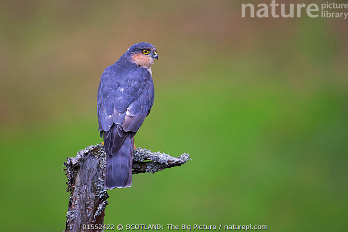Sparrowhawk (Accipiter nisus) perching on lichen covered snag, Dumfries and Galloway, Scotland, UK, October.  ,  Animal,Vertebrate,Bird,Birds,Bird of prey,Sparrowhawk,Animalia,Animal,Wildlife,Vertebrate,Aves,Bird,Birds,Accipitriformes,Accipitridae,Accipiter,Bird of prey,Raptor,Accipiter nisus,Sparrowhawk,Eurasian sparrowhawk,Northern sparrowhawk,Europe,Western Europe,UK,Great Britain,Scotland,Dumfries and Galloway,Copy Space,Negative space,Perching,SCOTLAND: The Big Picture,Pete Cairns,  ,  SCOTLAND: The Big Picture