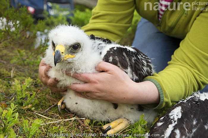 Field worker holding Golden eagle (Aquila chrysaetos) chick on ground, Glen Tanar Estate, Aberdeenshire, Scotland, UK, June 2015.  ,  Animal,Vertebrate,Bird,Birds,True eagle,Golden eagle,Animalia,Animal,Wildlife,Vertebrate,Aves,Bird,Birds,Accipitriformes,Accipitridae,Aquila,True eagle,True eagles,Eagle,Bird of prey,Raptor,Aquila chrysaetos,Golden eagle,Sitting,Ringing,People,Scientist,Scientists,Research,Researching,Europe,Western Europe,UK,Great Britain,Scotland,Grampian,Young Animal,Juvenile,Babies,Chick,Eaglet,Eaglets,Hand,Science,Fieldwork,Aberdeenshire,Aquila chrysaetus,Researcher,SCOTLAND: The Big Picture,Mark Hamblin,  ,  SCOTLAND: The Big Picture
