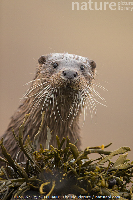 Eurasian otter (Lutra lutra) portrait, Scotland, UK, April.  ,  Animal,Wildlife,Vertebrate,Mammal,Carnivore,Mustelid,River otter,Common Otter,Animalia,Animal,Wildlife,Vertebrate,Mammalia,Mammal,Carnivora,Carnivore,Mustelidae,Mustelid,Lutra,River otter,Lutra lutra,Common Otter,Eurasian Otter,European Otter,European River Otter,Old World Otter,Europe,Western Europe,UK,Great Britain,Scotland,Copy Space,Vertical,Front View,Portrait,Animal Nose,Coast,Coastal,Whiskers,Direct Gaze,Negative space,Seaweed,SCOTLAND: The Big Picture,Mark Hamblin,Animals,Vertebrates,Chordates,Mammals,Carnivores,Mustelids,River otters,Copy Spaces,Portraits,Animal Noses,Noses,Coasts,Whisker,Animal,Wildlife,Vertebrate,Mammal,Carnivore,Mustelid,River otter,Common Otter,high16,,eye contact,  ,  SCOTLAND: The Big Picture