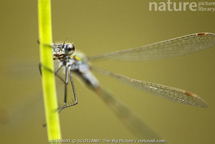 Emerald Damselfy (Lestes sponsa) close-up of adult male at rest, Cairngorms National Park, Scotland, UK, July.  ,  Animal,Arthropod,Insect,Pterygota,Spreadwing,Emerald damselfly,Animalia,Animal,Wildlife,Hexapoda,Arthropod,Invertebrate,Hexapod,Arthropoda,Insecta,Insect,Odonata,Pterygota,Lestidae,Spreadwing,Spreadwing damselfly,Damselfly,Zygoptera,Lestes,Lestes sponsa,Emerald damselfly,Common spreadwing,Agrion sponsa,Lestes autumnalis,Lestes nymphaeides,Europe,Western Europe,UK,Great Britain,Scotland,Highland,Reserve,Protected area,Highlands of Scotland,National Park,Cairngorms,  ,  SCOTLAND: The Big Picture