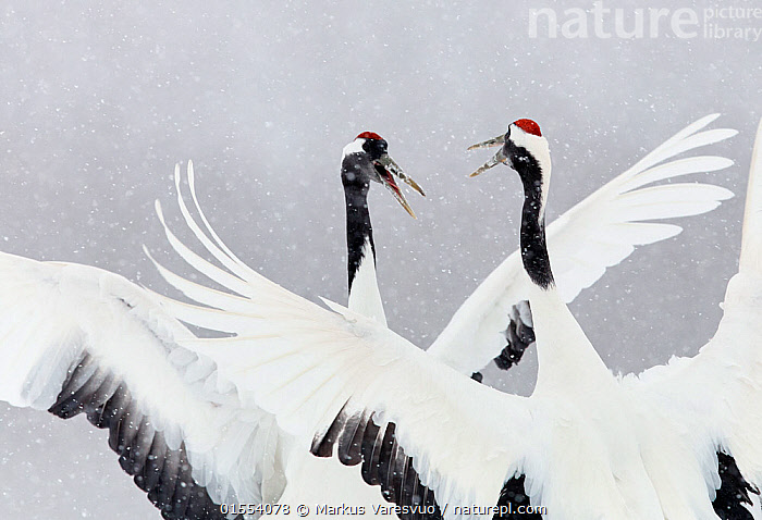 Japanese / Red-crowned crane (Grus japonicus) two calling and dancing, part of bonding and courtship display, Hokkaido Japan February, Animal,Wildlife,Vertebrate,Bird,Birds,Crane,Japanese crane,Animalia,Animal,Wildlife,Vertebrate,Aves,Bird,Birds,Gruiformes,Gruidae,Crane,Grus,Grus japonensis,Japanese crane,Red crowned crane,Manchurian crane,Vocalisation,Calling,Courting,Bonding,Two,Asia,East Asia,Japan,Hokkaido,Horizontal,Snow,Weather,Snowing,Snowfall,Winter,Communication,Animal Behaviour,Mating Behaviour,Courtship,Social behaviour,Display,Male female pair,Biodiversity hotspot,Grus japonicus,Animals,Vertebrates,Chordates,Cranes,Pairs,Hotspots,Animal,Wildlife,Vertebrate,Bird,Birds,Crane,Japanese crane,high16, Markus Varesvuo