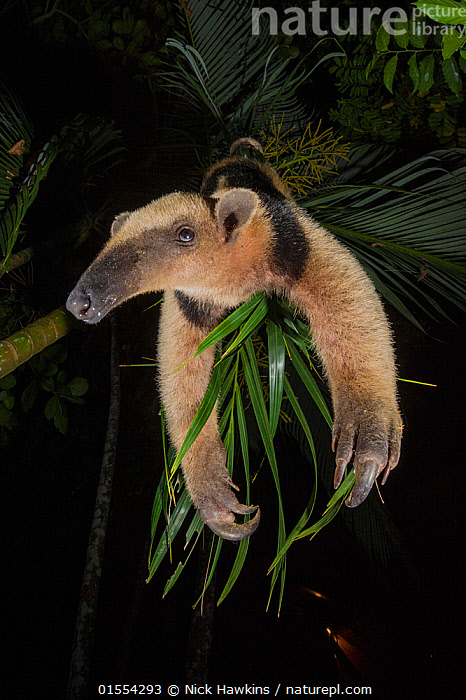 Northern tamandua (Tamandua mexicana) Nicoya Peninsula, Costa Rica., Animal,Wildlife,Vertebrate,Mammal,Anteater,Tamandua,Northern tamandua,Animalia,Animal,Wildlife,Vertebrate,Mammalia,Mammal,Pilosa,Myrmecophagidae,Anteater,Tamandua,Tamandua mexicana,Northern tamandua,Tamandua leucopygia,Tamandua quadridactyla,Hanging,Humorous,Latin America,Central America,Costa Rica,Low Angle View,Night,Nocturnal,Rainforest,Reserve,Forest,Biodiversity hotspot,Protected area,National Park,Animals,Vertebrates,Chordates,Mammals,Anteaters,Forests,Hotspots,Reserves,National parks,Rainforests,Nights,Animal,Wildlife,Vertebrate,Mammal,Anteater,Tamandua,Northern tamandua,high16, Nick Hawkins