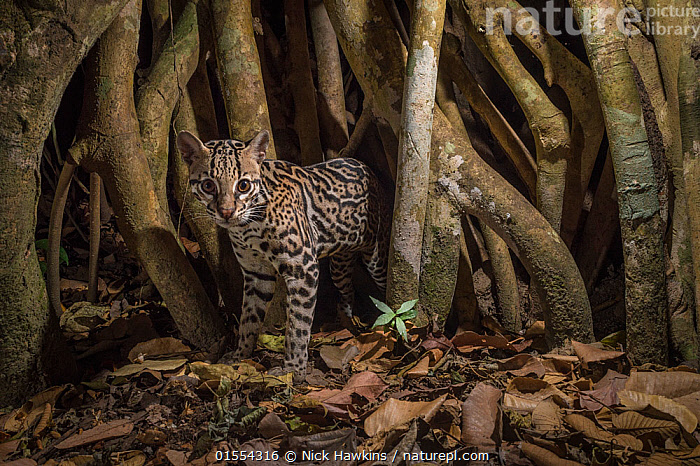 Ocelot (Leopardus pardalis) camera trap image,  Nicoya Peninsula, Costa Rica., Animal,Wildlife,Vertebrate,Mammal,Carnivore,Cat,Ocelot,Animalia,Animal,Wildlife,Vertebrate,Mammalia,Mammal,Carnivora,Carnivore,Felidae,Cat,Leopardus,Leopardus pardalis,Ocelot,Camouflage,Latin America,Central America,Costa Rica,Wide Angle,Night,Nocturnal,Habitat,Biodiversity hotspot,Animals,Vertebrates,Chordates,Mammals,Carnivores,Cats,Hotspots,Nights,Animal,Wildlife,Vertebrate,Mammal,Carnivore,Cat,Ocelot, catalogue9, Nick Hawkins