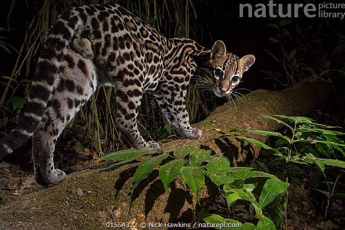 Ocelot (Leopardus pardalis) walking, camera trap image,  Nicoya Peninsula, Costa Rica., Animal,Vertebrate,Mammal,Carnivore,Cat,Ocelot,Animalia,Animal,Wildlife,Vertebrate,Mammalia,Mammal,Carnivora,Carnivore,Felidae,Cat,Leopardus,Leopardus pardalis,Ocelot,Latin America,Central America,Costa Rica,Portrait,Night,Nocturnal,Habitat,Biodiversity hotspot,, Nick Hawkins