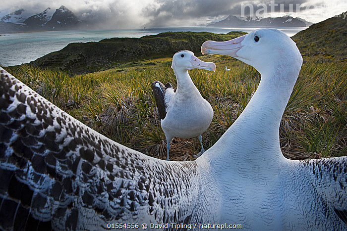 Wandering albatross (Diomedea exulans) pair displaying at dusk in ritual bonding behaviour, Albatross Island in Bay of Isles, South Georgia January  ,  Animal,Vertebrate,Bird,Birds,Tubenose,Albatross,Wandering albatross,Animalia,Animal,Wildlife,Vertebrate,Aves,Bird,Birds,Procellariiformes,Tubenose,Tubinare,Seabird,Diomedeidae,Albatross,Diomedea,Diomedea exulans,Wandering albatross,Snowy albatross,White winged albatross,Courting,Atmospheric Mood,Bonding,Two,Horizontal,Island,Islands,Twilight,Evening,Communication,Coast,Marine,Coastal,Water,Animal Behaviour,Mating Behaviour,Courtship,Display,Male female pair,Behaviour,Saltwater,Subantarctic islands,South Georgia Island,Ritual,Seabird,Seabirds,Marine bird,Marine birds,Pelagic bird,Pelagic birds,Endangered species,threatened,Vulnerable  ,  David Tipling