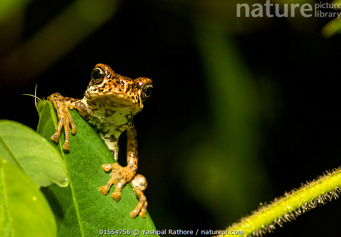 Nature Picture Library - Malabar tree toad (Pedostibes