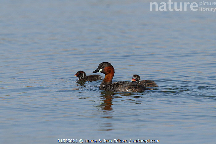 Little grebe (Tachybaptus ruficollis) adult with chicks, Oman, February, Animal,Vertebrate,Bird,Birds,Grebe,Little grebe,Wildfowl,Water fowl,Animalia,Animal,Wildlife,Vertebrate,Aves,Bird,Birds,Podicipediformes,Podicipedidae,Grebe,Tachybaptus,Tachybaptus ruficollis,Little grebe,Common grebe,Red throated little grebe,Red throated grebe,Dabchick,Asia,Middle East,Oman,Sultanate of Oman,Young Animal,Juvenile,Babies,Chick,Ocean,Indian Ocean,Marine,Water,Family,Mother baby,Saltwater,Mother-baby,mother,Arabia,Parent baby,Waterfowl,Wildfowl,Water fowl,, Hanne & Jens Eriksen