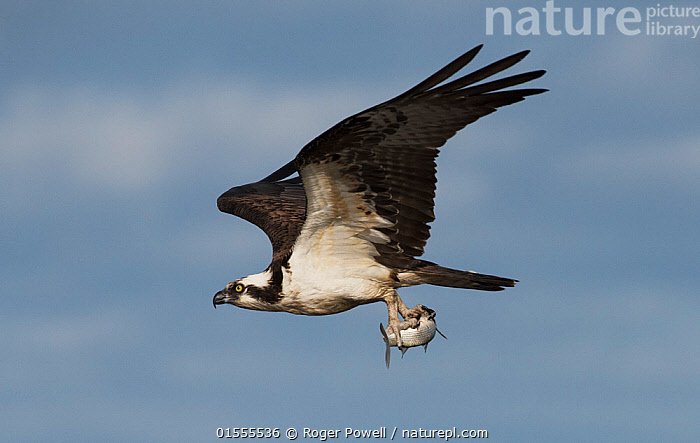 Osprey (Pandion haliaetus) male displaying by flying past with a Flathead grey mullet (Mugil cephalus) in its talons. Cedar Key, Levy County, Florida, USA April  ,  Animal,Vertebrate,Ray-finned fish,Mullets,Black Mullet,Bird,Birds,Osprey,American,Animalia,Animal,Wildlife,Vertebrate,Actinopterygii,Ray-finned fish,Osteichthyes,Bony fish,Fish,Mugiliformes,Mugilidae,Mullets,Grey mullets,Mugil,Mugil cephalus,Black Mullet,Black True Mullet,Bright Mullet,Bully Mullet,Callifaver Mullet,Common Grey Mullet,Common Mullet,Flathead Greymullet,Flathead Grey Mullet,Flathead Mullet,Grey Mullet,Haarder,Hardgut Mullet,Mangrove Mullet,Mullet,River Mullet,Sea Mullet,Springer,Mugil albula,Mugil japonicus,Mugil lineatus,Aves,Bird,Birds,Accipitriformes,Pandionidae,Osprey,Bird of prey,Raptor,Pandion,Pandion haliaetus,Flying,North America,USA,Southern USA,Southeast US,Florida,Profile,Horizontal,Side View,Male Animal,Wetland,Animal Behaviour,Mating Behaviour,Display,Predation,Mixed species,Behaviour,American,United States of America,  ,  Roger Powell