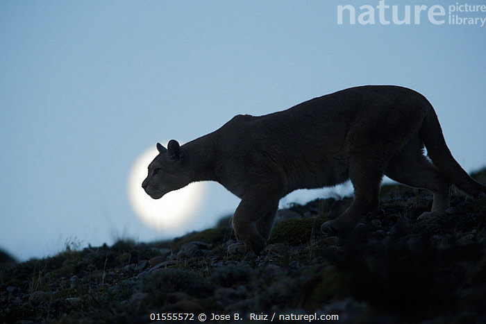 Mountain lion (Puma concolor) silhouetted, Torres del Paine. Patagonia, Puerto Natales, Chile., Animal,Wildlife,Vertebrate,Mammal,Carnivore,Cat,Puma,Cougar,Animalia,Animal,Wildlife,Vertebrate,Mammalia,Mammal,Carnivora,Carnivore,Felidae,Cat,Puma,Puma concolor,Cougar,Mountain Lion,Latin America,South America,Chile,Profile,Side View,Back Lit,Moon,Animal Behaviour,Predation,Hunting,Silhouette,Dusk,Torres del Paine,Felis concolor,Animals,Vertebrates,Chordates,Mammals,Carnivores,Cats,Pumas,Silhouettes,Animal,Wildlife,Vertebrate,Mammal,Carnivore,Cat,Puma,Cougar,high16, Jose B.  Ruiz