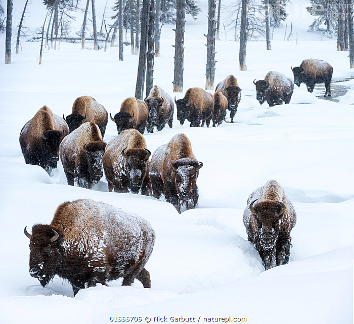 Herd of American bison (Bison bison) in snow, Yellowstone National Park, Wyoming, Yellowstone, January., Animal,Wildlife,Vertebrate,Mammal,Bovid,Bison,American Bison,American,Animalia,Animal,Wildlife,Vertebrate,Mammalia,Mammal,Artiodactyla,Even-toed ungulates,Bovidae,Bovid,ruminantia,Ruminant,Bison,Bison bison,American Bison,American buffalo,Group Of Animals,Herd,Group,North America,USA,Western USA,Wyoming,Snow,Winter,Reserve,Protected area,National Park,Yellowstone National Park,American,United States of America,Animals,Vertebrates,Chordates,Mammals,Bovids,Ruminants,Bisons,Groups,Reserves,National parks,Animal,Wildlife,Vertebrate,Mammal,Bovid,Bison,American Bison,American,high16, Nick Garbutt