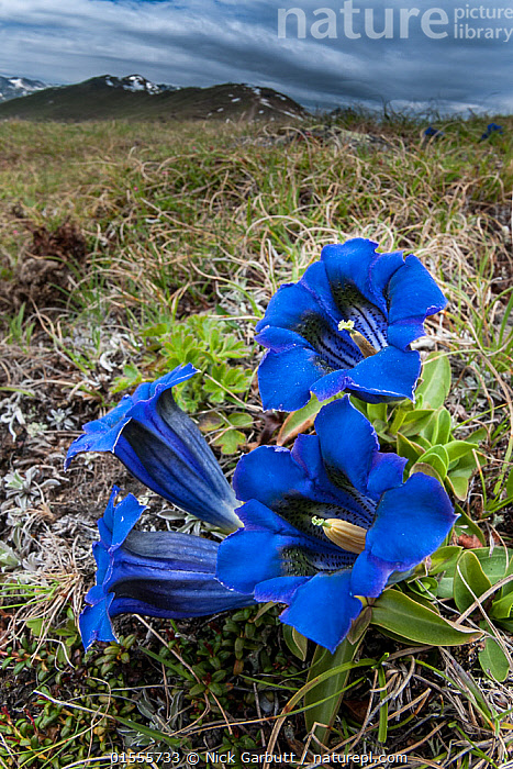 Nature Picture Library - Trumpet / Stemless gentian