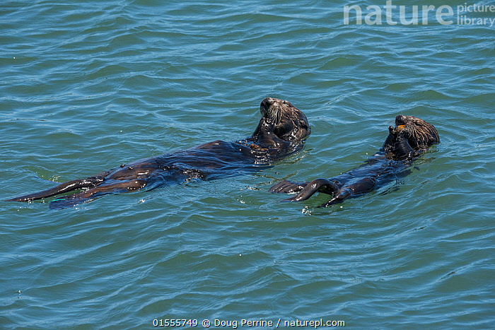 RF - California sea otter or southern sea otter, (Enhydra lutris nereis) female and pup share meal of mussels the mother has collected. Elkhorn Slough, Moss Landing, California, United States, Eastern Pacific.  Threatened species. (This image may be licensed either as rights managed or royalty free.)  ,  Animal,Vertebrate,Mammal,Carnivore,Mustelid,Sea otter,Sea Otter,American,California sea otter,Southern sea otter,Animalia,Animal,Wildlife,Vertebrate,Mammalia,Mammal,Carnivora,Carnivore,Mustelidae,Mustelid,Enhydra,Sea otter,Enhydra lutris,Sea Otter,Lying down,Lying On Back,Relaxation,Side By Side,Two,Nobody,Wet,North America,USA,Western USA,Southwest US,California,Young Animal,Juvenile,Babies,Baby Mammal,Pup,Pups,Female animal,Ocean,Pacific Ocean,Outdoors,Day,Nature,Endangered Species,Threatened,Wild,Marine,Water Surface,Water,Feeding,Family,Mother baby,Saltwater,Mother-baby,mother,Two animals,Parent baby,American,United States of America,RF,Royalty free,RFCAT1,RF17Q1,Enhydra lutris nereis,California sea otter,Southern sea otter,Elkhorn Slough,Endangered species,threatened,Endangered  ,  Doug Perrine