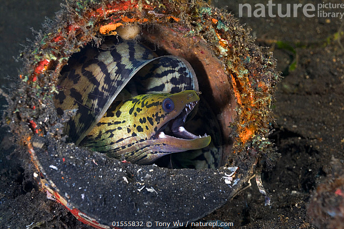 Fimbriated moray eel (Gymnothorax fimbriatus) curled up in discarded paint can in the muck of Lembeh Strait, North Sulawesi, Indonesia.  ,  Animal,Vertebrate,Ray-finned fish,Eel,Moray eel,Honeycomb moray eel,Fimbriated moray eel,Animalia,Animal,Wildlife,Vertebrate,Actinopterygii,Ray-finned fish,Osteichthyes,Bony fish,Fish,Anguilliformes,Eel,Muraenidae,Moray eel,Gymnothorax,Gymnothorax favagineus,Honeycomb moray eel,Black-blotched moray,Giraffe eel,Laced moray,Reticulated moray,Black blotched moray,Coral eel,Tesselated moray eel,Gymnothorax permistus,Muraena tessellata,Enchelycore favagineus,Gymnothorax fimbriatus,Fimbriated moray eel,Darkspotted moray,Spot face moray,Thyrsoidea bullata,Muraena fimbriata,Gymnothorax fimbriata,Waste,Asia,South East Asia,Indonesia,Horizontal,Animal Home,Tropical,Sea Floor,Seabed,Ocean,Environment,Environmental Issues,Environmental Damage,Marine,Underwater,Water,Indo Pacific,Saltwater,Biodiversity hotspot,Sulawesi,Wallacea,Lembeh Strait,North Sulawesi,Leopard moray,Lembeh,Marine  ,  Tony Wu