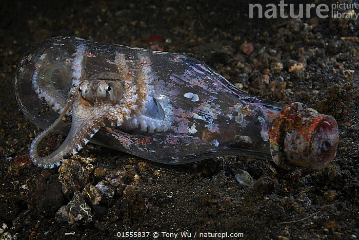 Small octopus (Octopus sp) peering out of a discarded glass bottle in the muck of Lembeh Strait in North Sulawesi, Indonesia  ,  Animal,Mollusc,Cepahlopod,Octopus,Homes,Animalia,Animal,Wildlife,Mollusca,Mollusc,Cephalopoda,Cepahlopod,Octopoda,Octopus,Octopodidae,Asia,South East Asia,Indonesia,Profile,Horizontal,Side View,Animal Home,Container,Containers,Bottle,Bottles,Tropical,Sea Floor,Seabed,Ocean,Marine,Underwater,Water,Animal Behaviour,Indo Pacific,Behaviour,Saltwater,Biodiversity hotspot,Homes,Sulawesi,Wallacea,Interesting,Lembeh Strait,North Sulawesi,Lembeh,Invertebrate,Invertebrates,Marine  ,  Tony Wu
