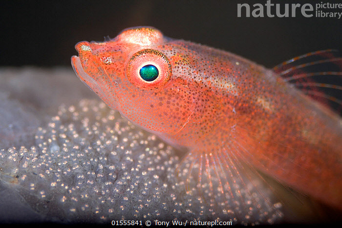 Common ghost goby (Pleurosicya mossambica) diligently guarding its  brood of eggs on the surface of a sponge, in the muck at Lembeh Strait, North Sulawesi, Indonesia.  ,  Animal,Wildlife,Vertebrate,Ray-finned fish,Percomorphi,Goby,Coral goby,Animalia,Animal,Wildlife,Vertebrate,Actinopterygii,Ray-finned fish,Osteichthyes,Bony fish,Fish,Perciformes,Percomorphi,Acanthopteri,Gobiidae,Goby,Pleurosicya,Pleurosicya mossambica,Coral goby,Protection,Asia,South East Asia,Indonesia,Profile,Horizontal,Side View,Animal Eggs,Egg,Eggs,Tropical,Ocean,Marine,Underwater,Water,Animal Behaviour,Brooding,Parental behaviour,Indo Pacific,Saltwater,Biodiversity hotspot,Parental,Sulawesi,Wallacea,Lembeh Strait,North Sulawesi,Protector,Lembeh,Animals,Vertebrates,Chordates,Ray-finned fishes,Bony fishes,Fishes,Gobie,Oceans,Hotspots,Animal,Wildlife,Vertebrate,Ray-finned fish,Percomorphi,Goby,Coral goby, catalogue9  ,  Tony Wu