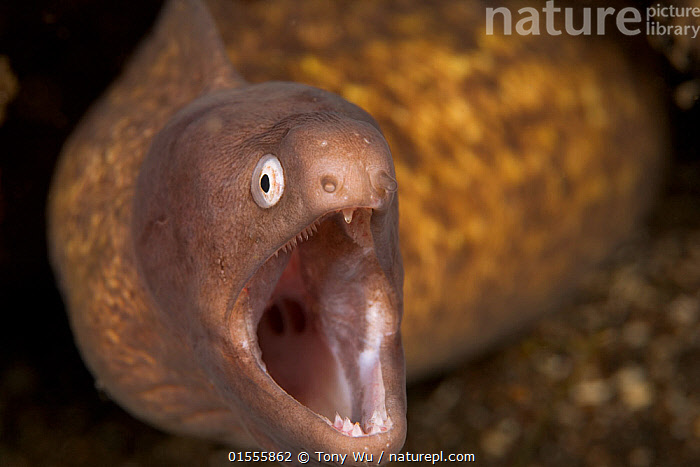 White-eyed moray eel (Muraena thrysoidea) with its mouth wide open, Manado, North Sulawesi, Indonesia  ,  Animal,Vertebrate,Ray-finned fish,Eel,Moray eel,Animalia,Animal,Wildlife,Vertebrate,Actinopterygii,Ray-finned fish,Osteichthyes,Bony fish,Fish,Anguilliformes,Eel,Muraenidae,Moray eel,Muraena,Asia,South East Asia,Indonesia,Horizontal,Portrait,Mouth,Tropical,Ocean,Marine,Underwater,Water,Indo Pacific,Saltwater,Biodiversity hotspot,Sulawesi,Wallacea,Lembeh Strait,North Sulawesi,Lembeh,Marine  ,  Tony Wu