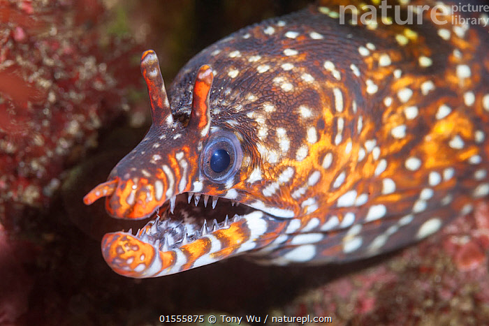 Dragon moray eel (Enchelycore pardalis) living among boulders and rock formations off the east coast of the Izu Peninsula in Japan.  ,  Animal,Wildlife,Vertebrate,Ray-finned fish,Eel,Moray eel,Leopard moray eel,Animalia,Animal,Wildlife,Vertebrate,Actinopterygii,Ray-finned fish,Osteichthyes,Bony fish,Fish,Anguilliformes,Eel,Muraenidae,Moray eel,Enchelycore,Enchelycore pardalis,Leopard moray eel,Hawaiian dragon eel,Dragon moray eel,Muraena pardalis,Gymnothorax pardalis,Muraena kauila,Pattern,Spotted,Asia,East Asia,Japan,Horizontal,Portrait,Tropical,Marine,Underwater,Water,Saltwater,Biodiversity hotspot,Animals,Vertebrates,Chordates,Ray-finned fishes,Bony fishes,Fishes,Eels,Spots,Portraits,Teeth,Hotspots,Animal,Wildlife,Vertebrate,Ray-finned fish,Eel,Moray eel,Leopard moray eel,high16  ,  Tony Wu