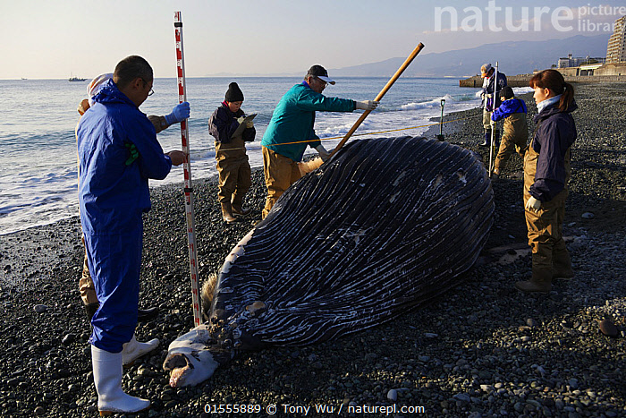Researchers measuring Humpback whale calf (Megaptera novaeangliae) that washed ashore on 3 January 2012 in Odawara, Japan.  ,  Animal,Vertebrate,Mammal,Ceteacean,Humpback Whale,Animalia,Animal,Wildlife,Vertebrate,Mammalia,Mammal,Cetacea,Ceteacean,Megaptera,Megaptera novaeangliae,Humpback Whale,Bunch,Hump Whale,Hunchbacked Whale,Megaptera nodosa,Megaptera lalandii,Megaptera longimana,People,Research,Researching,Dead,Dead Animal,Carcass,Asia,East Asia,Japan,Horizontal,Young Animal,Juvenile,Babies,Baby Mammal,Calf,Beach,Coast,Coastal,Death,Beached,Researcher,,Balaenopteridae,  ,  Tony Wu