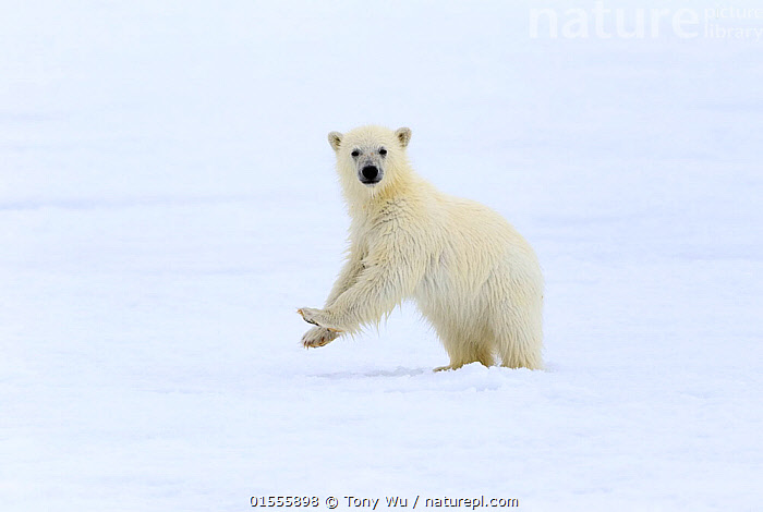 Polar bear (Ursus maritimus) very young cub, probably only a few months old, standing up to take a look around, northern Svalbard, Norway, June  ,  Animal,Vertebrate,Mammal,Carnivore,Bear,Polar bear,Arctic,Animalia,Animal,Wildlife,Vertebrate,Mammalia,Mammal,Carnivora,Carnivore,Ursidae,Bear,Ursus,Ursus maritimus,Polar bear,Ursus labradorensis,Ursus marinus,Ursus polaris,Standing,Curiosity,Cute,Adorable,Europe,Northern Europe,North Europe,Nordic Countries,Scandinavia,Norway,Svalbard,Copy Space,Horizontal,Young Animal,Juvenile,Babies,Baby Mammal,Cub,Ice,Snow,Direct Gaze,Negative space,Arctic,Endangered species,threatened,Vulnerable  ,  Tony Wu
