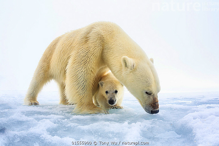 Polar bear (Ursus maritimus) female with a single young cub, only a few months old, northern Svalbard, Norway, June, Animal,Wildlife,Vertebrate,Mammal,Carnivore,Bear,Polar bear,Arctic,Animalia,Animal,Wildlife,Vertebrate,Mammalia,Mammal,Carnivora,Carnivore,Ursidae,Bear,Ursus,Ursus maritimus,Polar bear,Ursus labradorensis,Ursus marinus,Ursus polaris,Sheltering,Protection,Shelter,Europe,Northern Europe,North Europe,Nordic Countries,Scandinavia,Norway,Svalbard,Copy Space,Horizontal,Female animal,Ice,Snow,Animal Behaviour,Parental behaviour,Family,Mother baby,Mother,Parental,Negative space,Parent baby,Protector,Arctic,Animals,Vertebrates,Chordates,Mammals,Carnivores,Bears,Copy Spaces,Families,Female Animals,Animal,Wildlife,Vertebrate,Mammal,Carnivore,Bear,Polar bear,Arctic,high16, Tony Wu