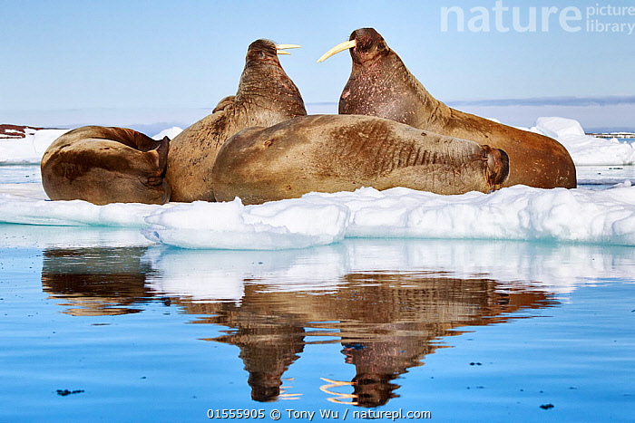 Atlantic walruses (Odobenus rosmarus) resting on ice, with two large individuals facing off just before the one on the right stabbed the other with his tusks, Svalbard, Norway, June  ,  Animal,Vertebrate,Mammal,Carnivore,Walrus,Arctic,Animalia,Animal,Wildlife,Vertebrate,Mammalia,Mammal,Carnivora,Carnivore,Odobenidae,Walrus,Pinniped,Pinnipedia,Odobenus,Odobenus rosmarus,Resting,Rest,Sleeping,Conflict,Group,Europe,Northern Europe,North Europe,Nordic Countries,Scandinavia,Norway,Svalbard,Profile,Horizontal,Side View,Reflection,Ice,Pack Ice,Ice Floes,Iceberg,Icebergs,Coast,Marine,Coastal waters,Coastal,Water,Animal Behaviour,Aggression,Behaviour,Saltwater,Sea ice,Arctic,Marine  ,  Tony Wu