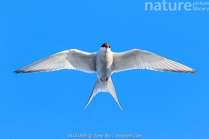 Arctic tern (Sterna paradisaea) hovering above the ocean, Svalbard, Norway June  ,  Animal,Wildlife,Vertebrate,Bird,Birds,Tern,Arctic tern,Arctic,Animalia,Animal,Wildlife,Vertebrate,Aves,Bird,Birds,Charadriiformes,Sternidae,Tern,Gull,Seabird,Sterninae,Sterna,Sterna paradisaea,Arctic tern,Migration,Flying,Above,Europe,Northern Europe,North Europe,Nordic Countries,Scandinavia,Norway,Svalbard,Copy Space,Cutout,Horizontal,High Angle View,Directly Above,Overhead,Portrait,Wing,Sky,Clear Sky,Animal Behaviour,Elevated view,Wings spread,Wingspan,Negative space,Arctic,Animals,Vertebrates,Chordates,Terns,Gulls,Seabirds,Copy Spaces,Portraits,Wings,Skies,Clear Skies,Animal,Wildlife,Vertebrate,Bird,Birds,Tern,Arctic tern,Arctic,high16  ,  Tony Wu