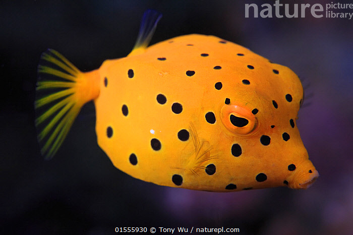 Yellow boxfish (Ostracion cubicus) juvenile, Ambon, Indonesia  ,  Animal,Vertebrate,Ray-finned fish,Plectognathi,Trunkfish,Yellow boxfish,Animalia,Animal,Wildlife,Vertebrate,Actinopterygii,Ray-finned fish,Osteichthyes,Bony fish,Fish,Tetraodontiformes,Plectognathi,Ostraciidae,Ostracion,Trunkfish,Ostracion cubicus,Yellow boxfish,Cube trunkfish,Blue-spotted boxfish,Polkadot boxfish,Ostracion argus,Ostracion tuberculatus,Ostracion cubicum,Colour,Yellow,Pattern,Spotted,Asia,South East Asia,Indonesia,Profile,Horizontal,Side View,Portrait,Tropical,Ocean,Marine,Underwater,Water,Indo Pacific,Saltwater,Biodiversity hotspot,Moluccas,Marine  ,  Tony Wu