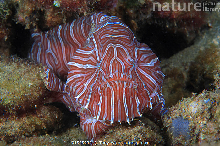 Psychedelic frogfish (Histiophyme psychedelica) in shallow water rubble, Ambon, Indonesia. This fish was described only in 2009, and only a limited number of specimens have been documented.  ,  Animal,Vertebrate,Ray-finned fish,Frogfish,Psychedelic frogfish,Animalia,Animal,Wildlife,Vertebrate,Actinopterygii,Ray-finned fish,Osteichthyes,Bony fish,Fish,Lophiiformes,Antennariidae,Frogfish,Pattern,Stripes,Asia,South East Asia,Indonesia,Horizontal,Portrait,Tropical,Ocean,Marine,Underwater,Water,Indo Pacific,Saltwater,Biodiversity hotspot,Moluccas,Psychedelic frogfish,  ,  Tony Wu