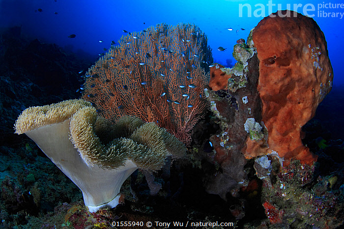 Coral and sponge formation on the outer reef in Ambon, Indonesia  ,  Animal,Cnidarian,Anthrozoan,Hard coral,Sponge,Animalia,Animal,Wildlife,Cnidaria,Cnidarian,Coelentrerata,Anthozoa,Anthrozoan,Scleractinia,Hard coral,Porifera,Sponge,Asia,South East Asia,Indonesia,Horizontal,Tropical,Reef,Reefs,Coral Reef,Coral Reefs,Ocean,Marine,Underwater,Water,Habitat,Mixed species,Indo Pacific,Saltwater,Biodiversity hotspot,Moluccas,Invertebrate,Invertebrates,Marine,Inverebrates  ,  Tony Wu