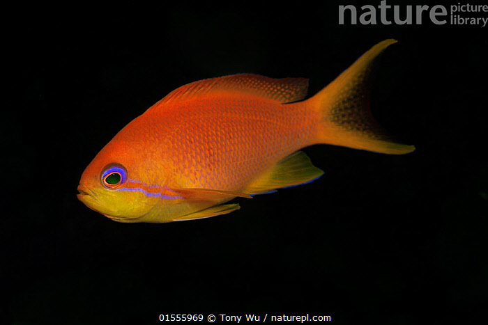 Jewel fairy basslet (Pseudanthias squamipinnis) female portrait, Papua New Guinea  ,  Animal,Vertebrate,Ray-finned fish,Percomorphi,Anthias,Lyretail anthias,Animalia,Animal,Wildlife,Vertebrate,Actinopterygii,Ray-finned fish,Osteichthyes,Bony fish,Fish,Perciformes,Percomorphi,Acanthopteri,Serranidae,Pseudanthias,Anthias,Pseudanthias squamipinnis,Lyretail anthias,Scalefin anthias,Anthias cheirospilos,Anthias gibbosus,Anthias squamipinnis,Colour,Orange,Oceania,Melanesia,New Guinea,Papua New Guinea,Copy Space,Plain Background,Black Background,Profile,Horizontal,Side View,Portrait,Female animal,Tropical,Ocean,Pacific Ocean,Marine,Underwater,Water,Indo Pacific,Saltwater,Negative space,Jewel basslet,Sea goldie,lyretail coralfish,Orange basslet,Orange sea perch,Jewel fairy basslet,Marine  ,  Tony Wu