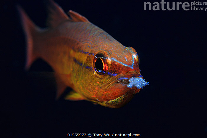 Goldbelly cardinalfish (Apogon apogonides) aerating eggs that it was carrying in its mouth, New Britain, Papua New Guinea  ,  Animal,Vertebrate,Ray-finned fish,Percomorphi,Cardinalfish,Animalia,Animal,Wildlife,Vertebrate,Actinopterygii,Ray-finned fish,Osteichthyes,Bony fish,Fish,Perciformes,Percomorphi,Acanthopteri,Apogonidae,Cardinalfish,Apogon,Oceania,Melanesia,New Guinea,Papua New Guinea,Profile,Horizontal,Side View,Portrait,Animal Eggs,Egg,Eggs,Tropical,Ocean,Pacific Ocean,Marine,Underwater,Water,Animal Behaviour,Brooding,Parental behaviour,Indo Pacific,Behaviour,Saltwater,Parental,Freshwater  ,  Tony Wu