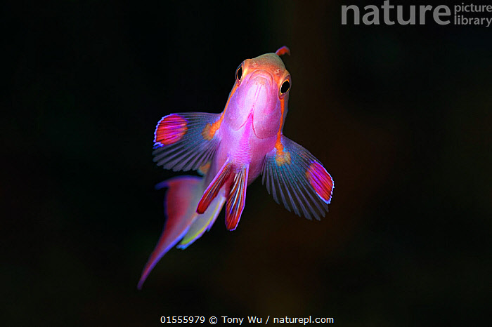 Jewel fairy basslet (Pseudanthias squamipinnis) male, Eastern Fields of Papua New Guinea  ,  Animal,Vertebrate,Ray-finned fish,Percomorphi,Anthias,Lyretail anthias,Animalia,Animal,Wildlife,Vertebrate,Actinopterygii,Ray-finned fish,Osteichthyes,Bony fish,Fish,Perciformes,Percomorphi,Acanthopteri,Serranidae,Pseudanthias,Anthias,Pseudanthias squamipinnis,Lyretail anthias,Scalefin anthias,Anthias cheirospilos,Anthias gibbosus,Anthias squamipinnis,Colour,Colourful,Oceania,Melanesia,New Guinea,Papua New Guinea,Copy Space,Plain Background,Black Background,Horizontal,Male Animal,Tropical,Ocean,Pacific Ocean,Marine,Underwater,Water,Indo Pacific,Saltwater,Negative space,Jewel basslet,Sea goldie,lyretail coralfish,Orange basslet,Orange sea perch,Jewel fairy basslet,Marine  ,  Tony Wu