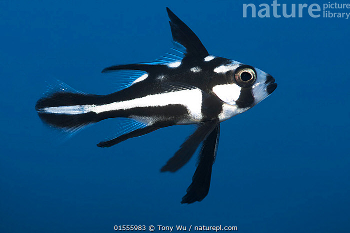 Midnight snapper (Macolor niger) juvenile, Feni Islands, New Ireland, Papua New Guinea.  ,  Animal,Vertebrate,Ray-finned fish,Percomorphi,Snapper,Animalia,Animal,Wildlife,Vertebrate,Actinopterygii,Ray-finned fish,Osteichthyes,Bony fish,Fish,Perciformes,Percomorphi,Acanthopteri,Lutjanidae,Snapper,Macolor,Oceania,Melanesia,New Guinea,Papua New Guinea,Copy Space,Profile,Horizontal,Side View,Portrait,Young Animal,Juvenile,Tropical,Ocean,Pacific Ocean,Marine,Underwater,Water,Indo Pacific,Saltwater,Negative space,  ,  Tony Wu