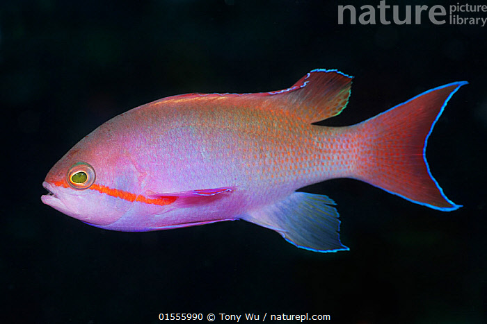 Jewel fairy basslet (Pseudanthias squamipinnis) male profile, Papua New Guinea  ,  Animal,Vertebrate,Ray-finned fish,Percomorphi,Anthias,Lyretail anthias,Animalia,Animal,Wildlife,Vertebrate,Actinopterygii,Ray-finned fish,Osteichthyes,Bony fish,Fish,Perciformes,Percomorphi,Acanthopteri,Serranidae,Pseudanthias,Anthias,Pseudanthias squamipinnis,Lyretail anthias,Scalefin anthias,Anthias cheirospilos,Anthias gibbosus,Anthias squamipinnis,Colour,Colourful,Oceania,Melanesia,New Guinea,Papua New Guinea,Copy Space,Plain Background,Black Background,Profile,Horizontal,Side View,Portrait,Tropical,Ocean,Pacific Ocean,Marine,Underwater,Water,Indo Pacific,Saltwater,Negative space,Jewel basslet,Sea goldie,lyretail coralfish,Orange basslet,Orange sea perch,Jewel fairy basslet,Marine  ,  Tony Wu